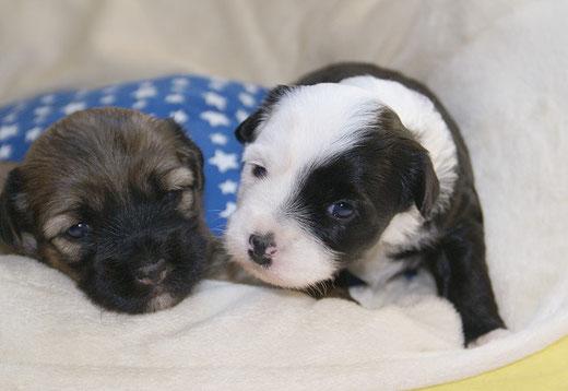 G-Wurf- Hündin 1 und Rüde 1 - 3 Wochen alt
