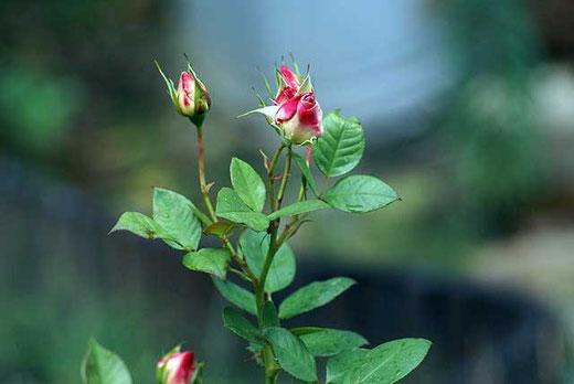 Diese kleine Rose gibt noch nicht auf