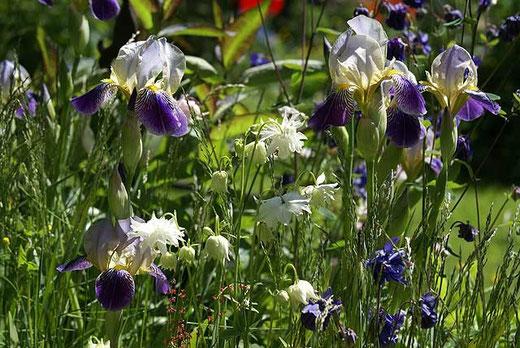 Iris und Akelei