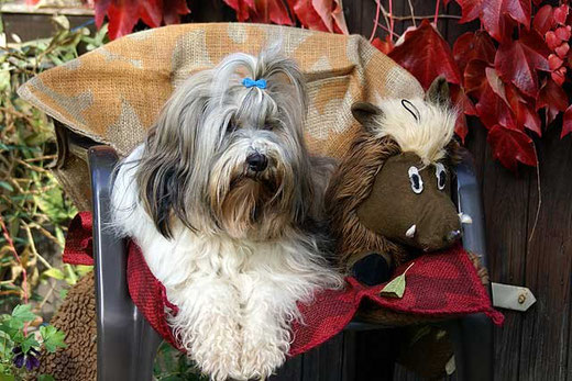 Tibet-Terrier-Hündin Srinagar Danda Da-cha Milica
