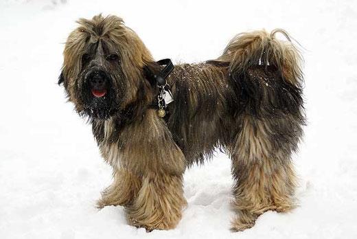 Tibet-Terrier Rüde Percy