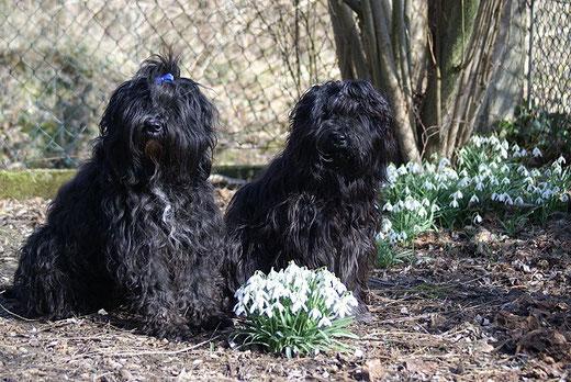 Tibet-Terrier Kar-mi und Yeshi