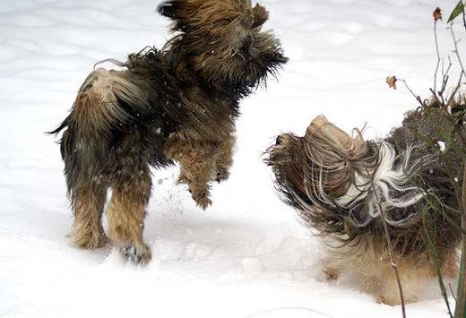 Tibet-Terrier Percy und Milka im Schnee