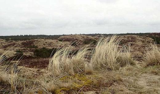 Heide- und Dünenlandschaft