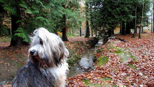 Tibet-Terrier-Hündin Milka im November