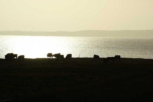 Galloways im ersten Sonnenlicht an der Bucht