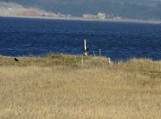 Reiher an der Bucht
