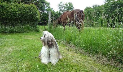 Milka bei den Pferden