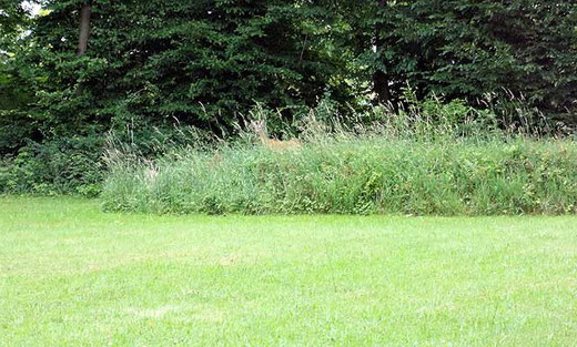 Reh auf dem Hügel gesichtet
