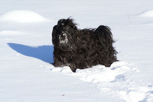 Tibet-Terrier Rüde Yeshi im Schnee