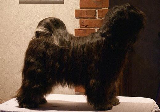 Tibet-Terrier Srinagar Danda Fu-Yeshi Black Jewel - Yeshi in Pose nach dem Bad