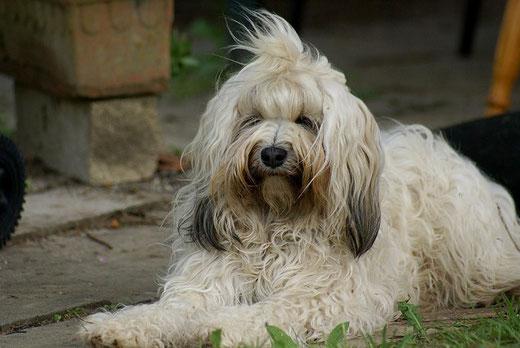 Tibet-Terrier-Hündin Srinagar Danda Fatu-la Fiona Sugar Candy