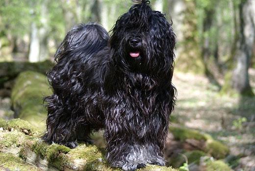 Tibet-Terrier Deckrüde Srinagar Danda Fu-Yeshi Black Jewel im Wald