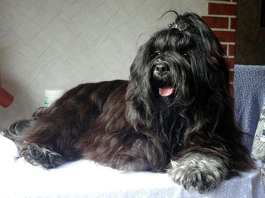 Tibet-Terrier Deckrüde Yeshi frisch gebadet