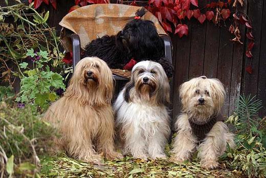Meine Tibi-Mädels im Oktober 2012