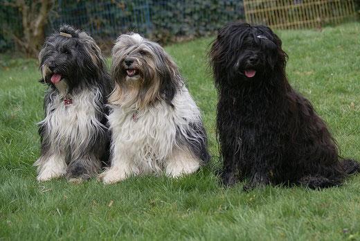 Tibet-Terrier Jita, Geshe und Yeshi