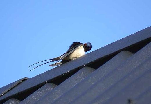 Rauchschwalbe auf unserem Dach