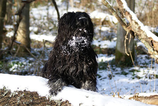 Tibet-Terrier Rüde Srinagar Danda Fu-Yeshi im Schnee