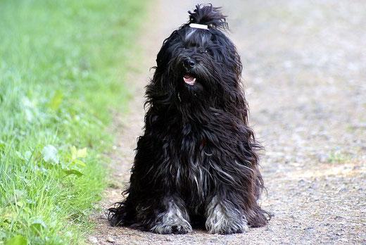 Tibet-Terrier Deckrüde Srinagar Danda Fu-Yeshi Black Jewel beim Spaziergang