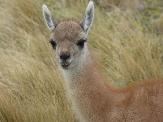 Guanacos, Tiere in Torres del Paine