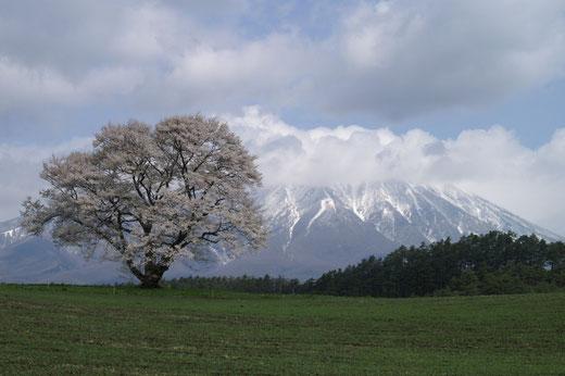 小岩井農場の一本桜    藤枝克治