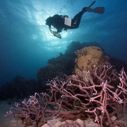 ANDERSON MAYFIELD sondant la GRANDE BARRIERE DE CORAIL. en Australie.. C* Ken MARKS / LOF