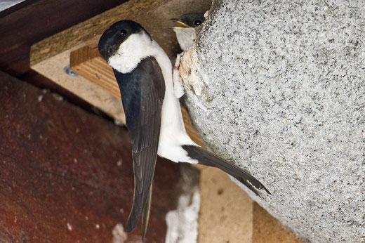 Mehlschwalbe beim Nestbau  Foto: NABU/Günter Lessenich