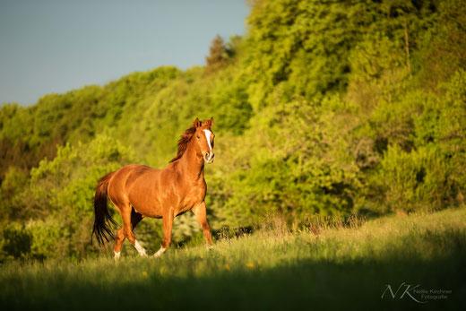Pferd, Freilauf, Trab, Pferdefotografie, Haßberge, Unterfranken, Haßfurt, Bamberg, Schweinfurt