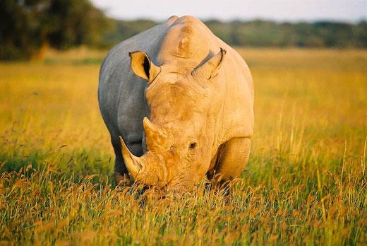 Nashorn auf einer Reise durch Simbabwe und Botswana