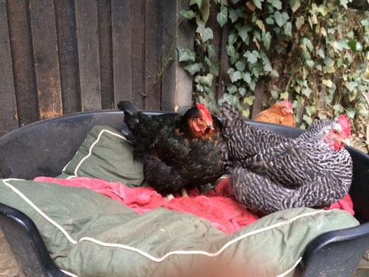 Einigen Hühner ist der Schnee egal, sie haben es sich in Heras Korb am Haus gemütlich gemacht und warten auf besseres Wetter. Zum Glück liegt das Handtuch dadrin...