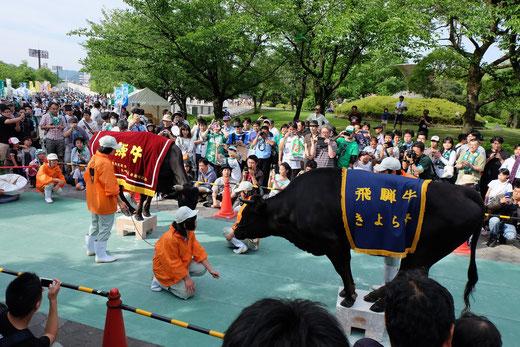 加茂農林高校による飛騨牛の碁盤乗り。2頭同時はとても貴重な瞬間です。