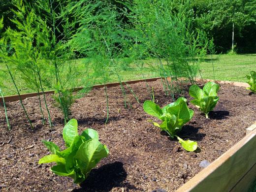 Radicchio und grüner Spargel im Hochbeet