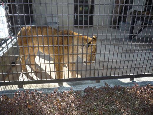 ライオンのナナちゃん、15時過ぎはエサの時間だから起きているけど、日中はほとんど寝ている。