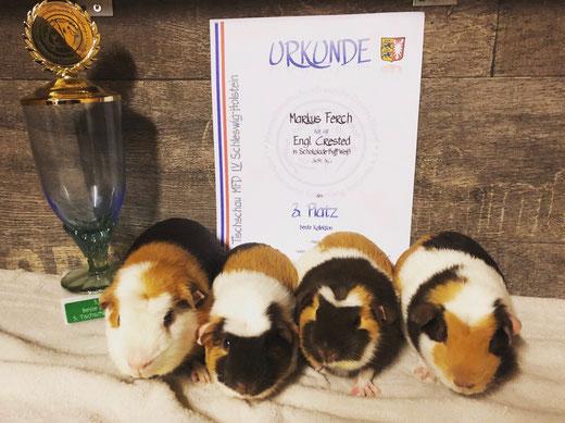 3. Platz Beste Kollektion Engl. Crested in Schoko-Buff-Weiß