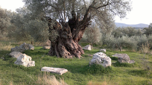 Olivenbaum-Kreta-über 2000 Jahre alt