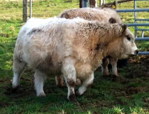 Im Bild eine unserer Kühe
