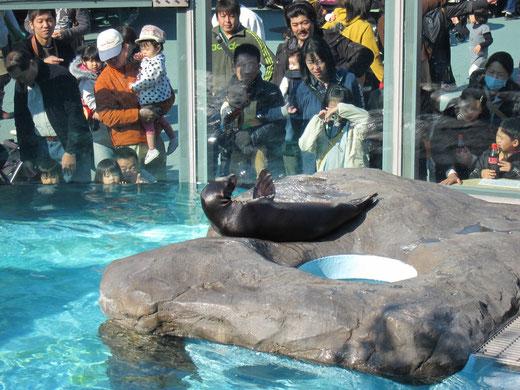 上野動物園のアザラシ