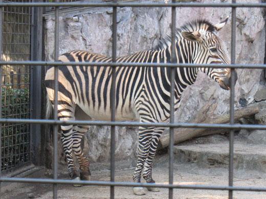 上野動物園のしまうま