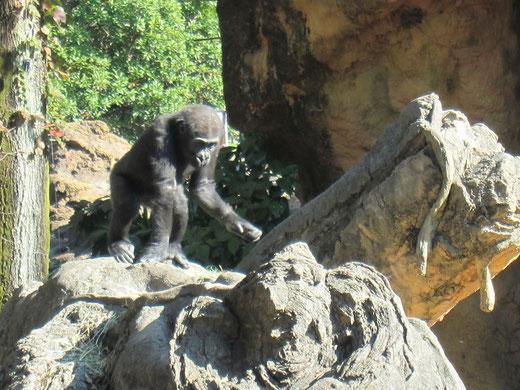 上野動物園の子供のゴリラ