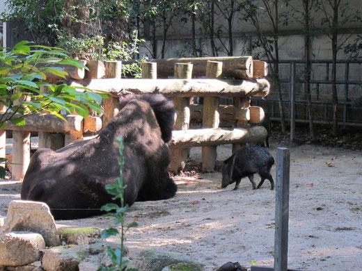 上野動物園のバイソン