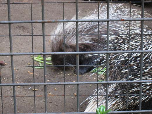 上野動物園のヤマアラシ