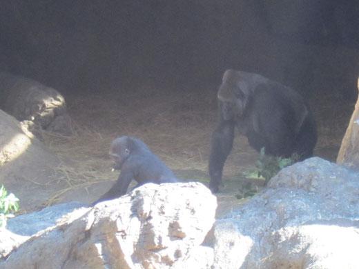 上野動物園のゴリラの親子