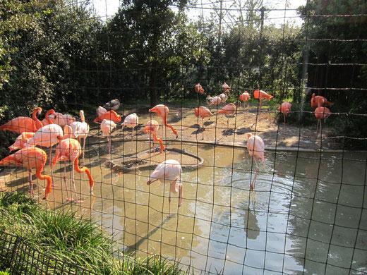 上野動物園のフラミンゴ