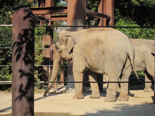 上野動物園のぞう