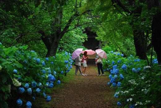第8回 宗吾霊堂紫陽花まつり