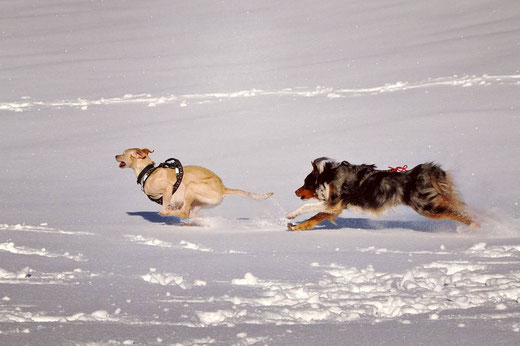 ESD, european Sled dog, course, poursuite, chien , berger australien