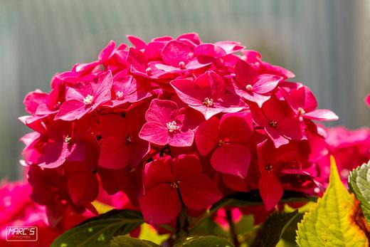 Omas Blume