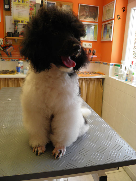 Amico zu Besuch im Salon- der kleine Mann trägt jetzt ein Bärtchen :-)