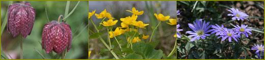 Schachbrettblume, Sumpfdotterblume, Balkan-Anemone