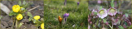 Winterling, botanische Krokusse, Lenzrose
